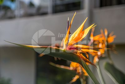 Bird of Paradise flower in Maui, Hawaii