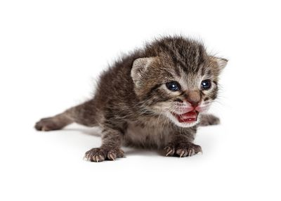 Newborn Kitten Isolated on White