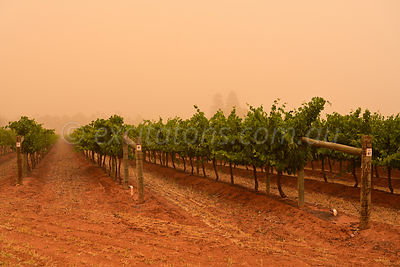 Dusty sky over vineyard.