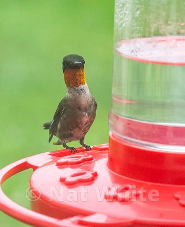 Hummingbird_Date_(Month_DD_YYYY)1_400_sec_at_f_7.1_NAT_WHITE