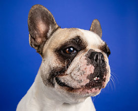 Studio Photo French Bulldog Looking Right Mouth Open on Blue Background