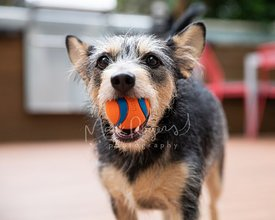 Close up of Terrier Dog with Ball in Mouth