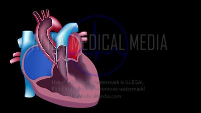Heart blood flow loop unlabeled video