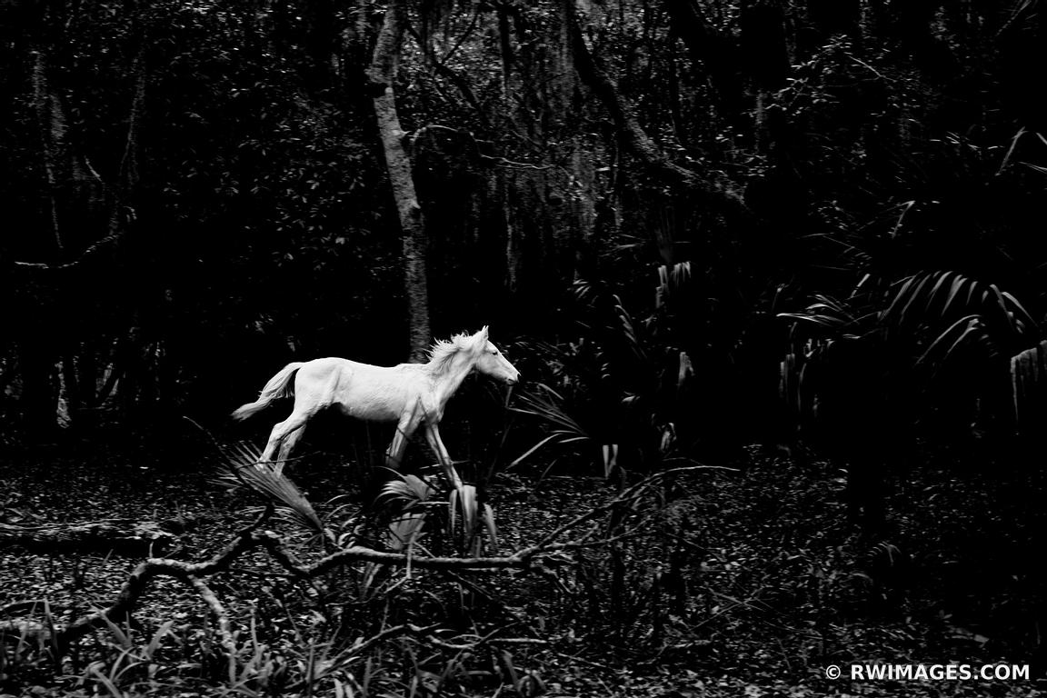 SPIRIT OF CUMBERLAND ISLAND WILD HORSE CUMBERLAND ISLAND NATIONAL SEASHORE GEORGIA BLACK AND WHITE