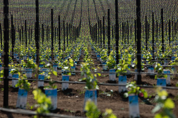 Newly planted grape vines, Napa Valley, California, USA.