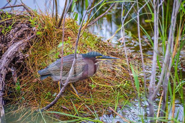 A Green-backed Heron in Everglades National Park, Florida