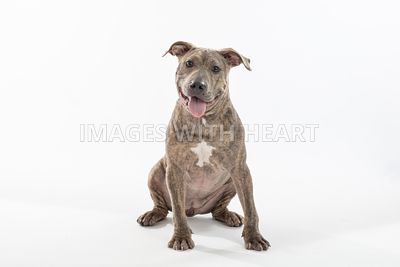 Happy Brindle Pit Bull Sitting