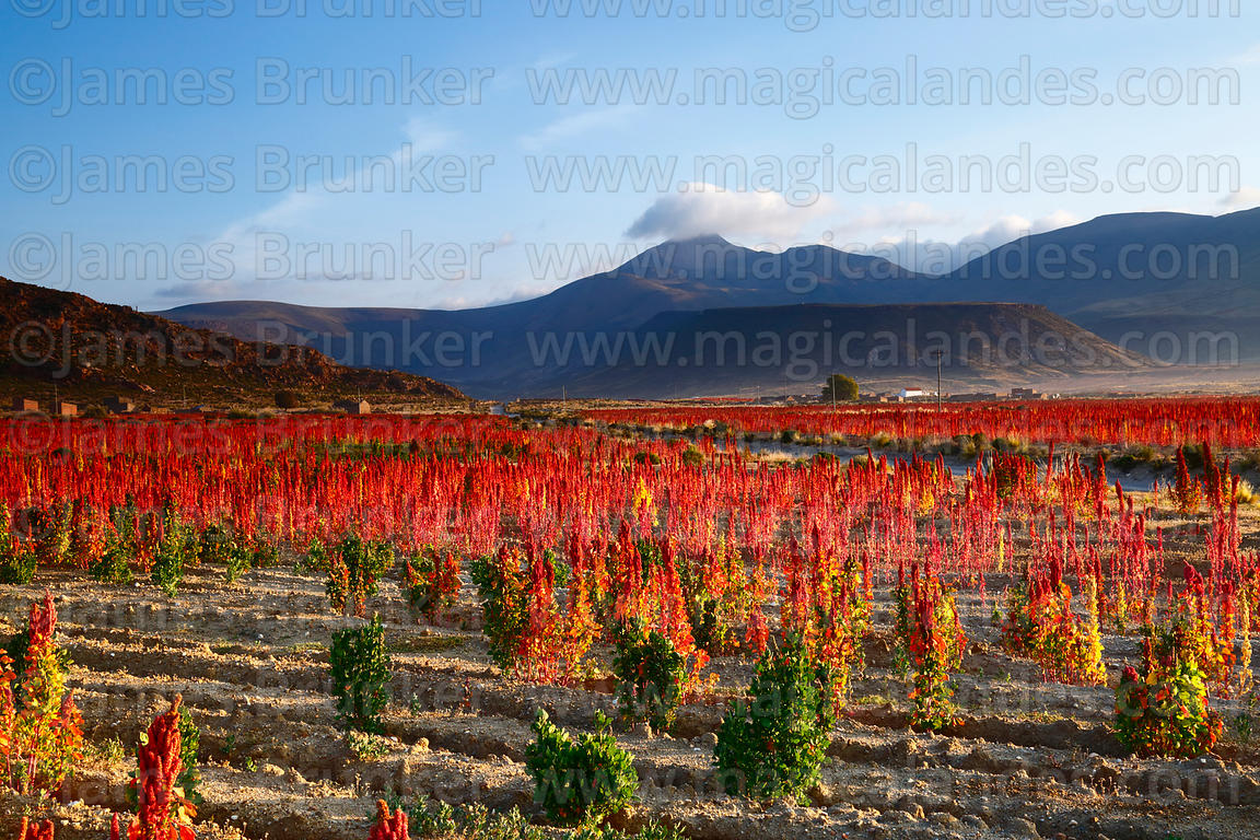 Fields of Royal Quinoa / Quinua Real (Chenopodium quinoa), Salinas de Garci Mendoza in background, Bolivia