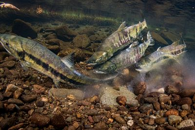 Chum salmon spawning sequence 1-13