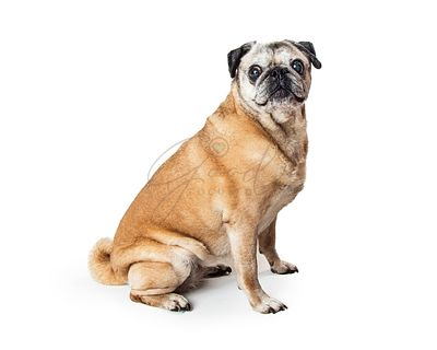 Fawn Pug Dog Sitting Side Looking at Camera