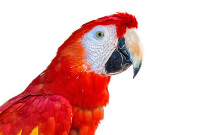 Close-up Scarlet Macaw Bird Profile Isolated