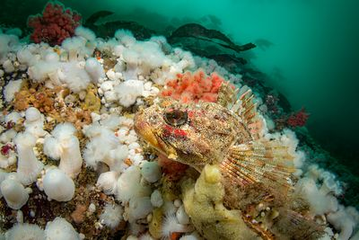 Red Irish Lord resting among anemone and soft coral in Browning Pass.