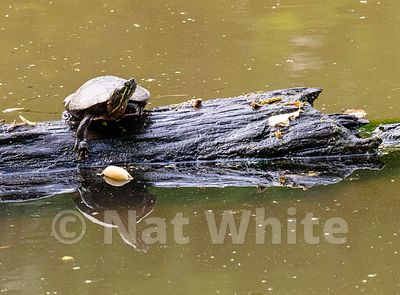 Turtle_Log-5364_May_10_2019_NAT_WHITE