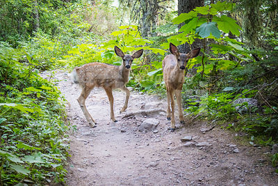 Deer widely roaming around at Glacier National Park
