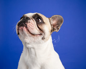 Studio Photo French Bulldog Looking Up Left on Blue Background