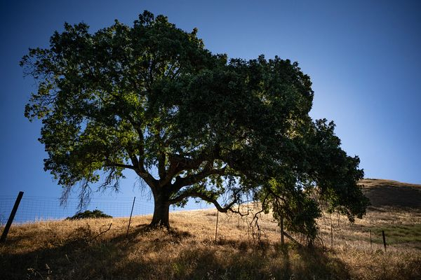 Stately oak tree in northern California. Photo by Jason Tinacci