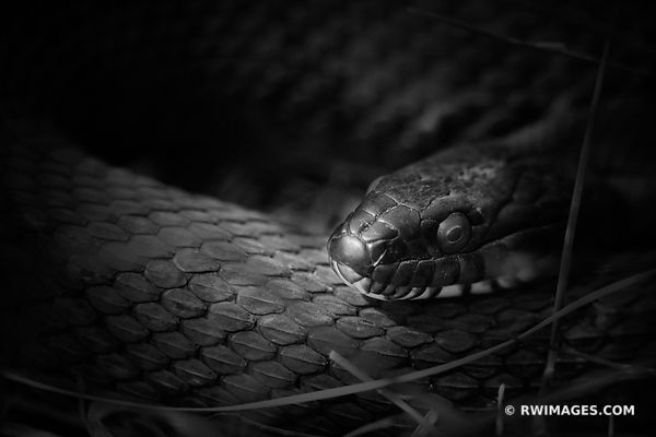WATER SNAKE BLACK AND WHITE