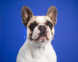 French Bulldog Studio Portrait on Blue Blackground