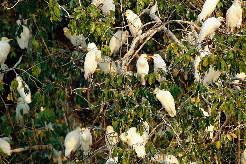 Group of Cattle Egrets