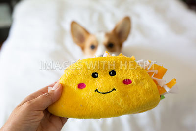 hand holding a taco toy in front of corgi