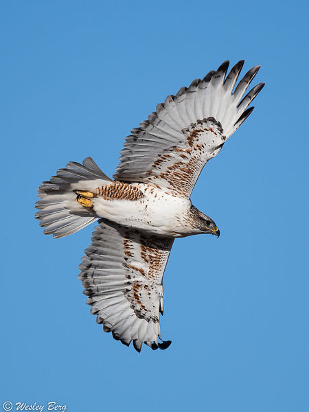 Light Morph Ferruginous Hawk