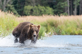 Brown Bear in Brooks River, Alaska, USA