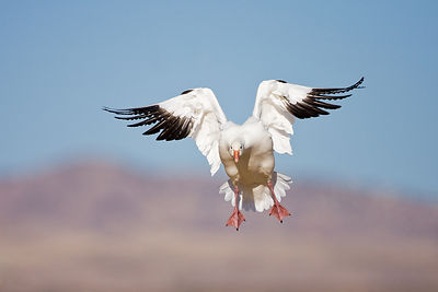 Snow Goose Breaking to Land