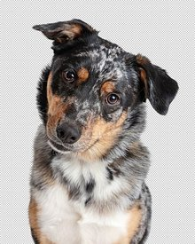 Australian Shepherd Dog Tilting Head Closeup  - Extracted