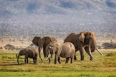 Large Elephant Family in Kenya