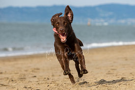 Chocolate Lab Running on Beach with Tongue Hanging Out