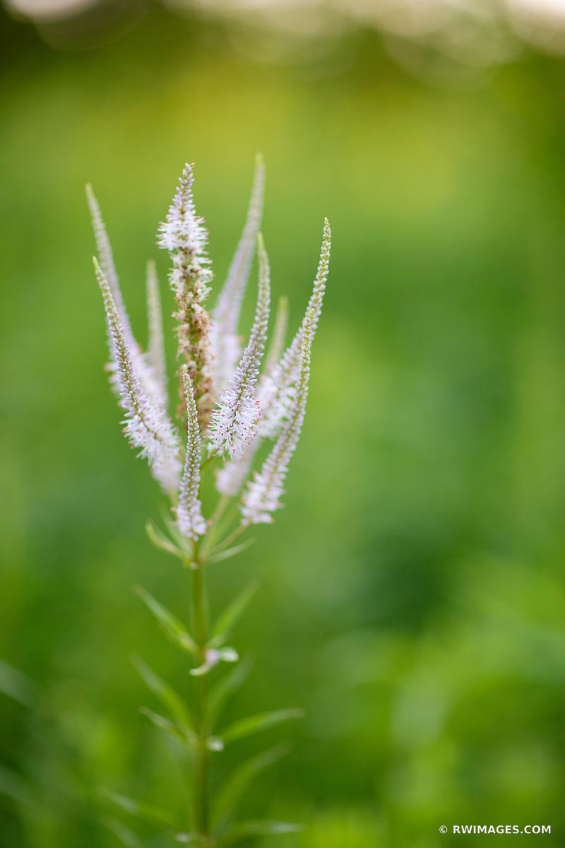 FALSE GOAT'S BEARD PRAIRIE BOTANICALS COLOR VERTICAL