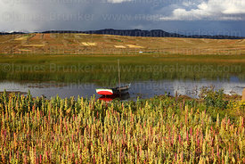 Sailing boat and field of quinoa plants ( Chenopodium quinoa ) growing on shores of Lake Titicaca with stormy sky, Bolivia