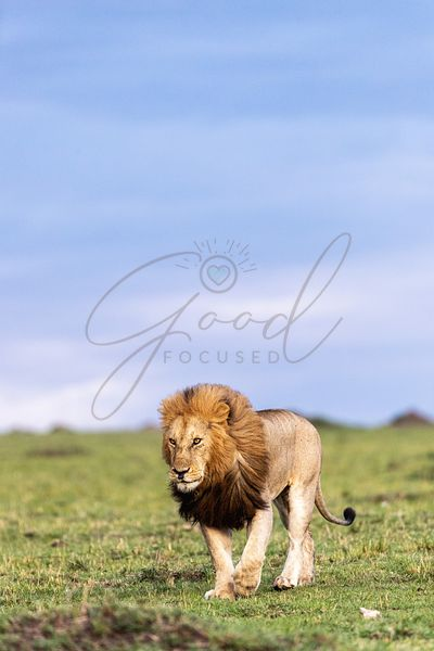 Male African Lion Walking in Kenya