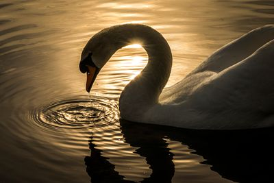 Silhouette of Mute Swan against evening light