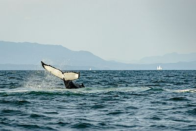 Tail slapping Humpback Whale.