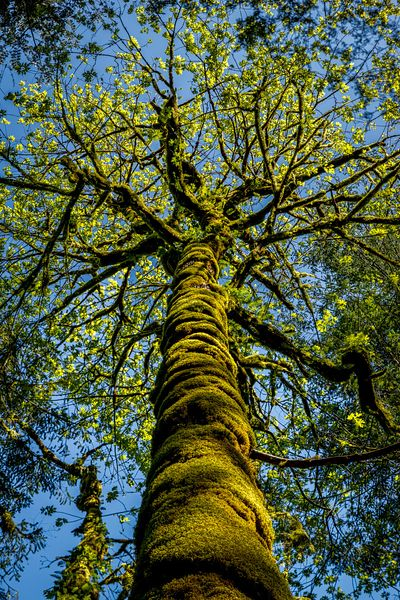 Looking up the mossy trunk of a Maple Tree in spring.