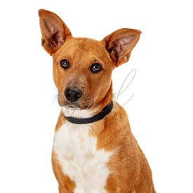 Cute listening pet dog mixed breed isolated