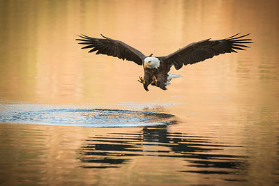 Bald Eeagle and Golden Water II