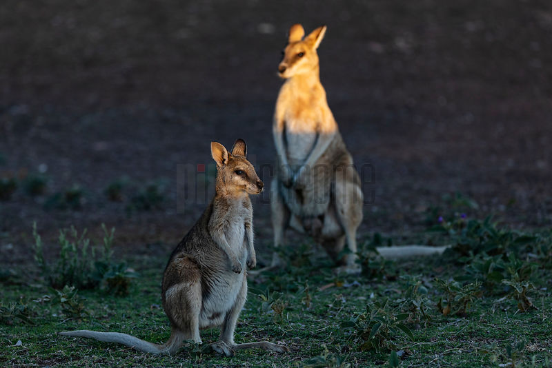 Portrait of Two Wallabies at Sunset