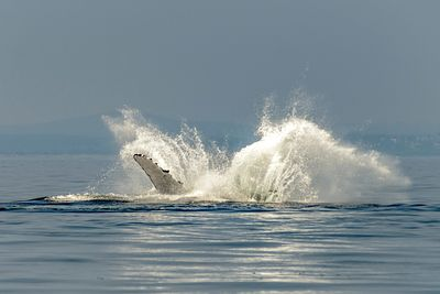 Big splash as a Humpback whale lands after breaching.