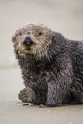 Sea Otter on Beach