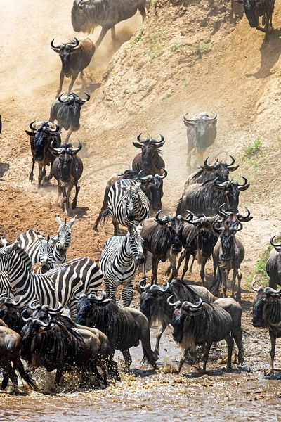 Wildebeest and Zebra Running at Mara River Bank