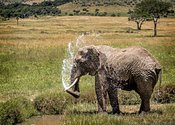 African Water Bathing in Amboseli Africa