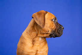 Studio Photo of Bull Mastiff Puppy Looking Right on Blue