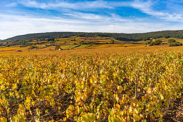 Golden leaves on grape vines in Cote de Beaune vineyards