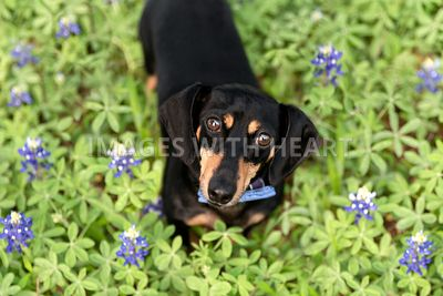 Dachshund wearing bowtie in Texas bluebonnets