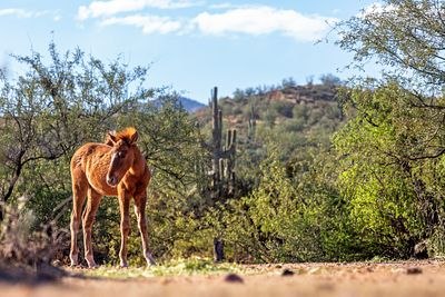 Wild Horse Foal in Mesa Arizona