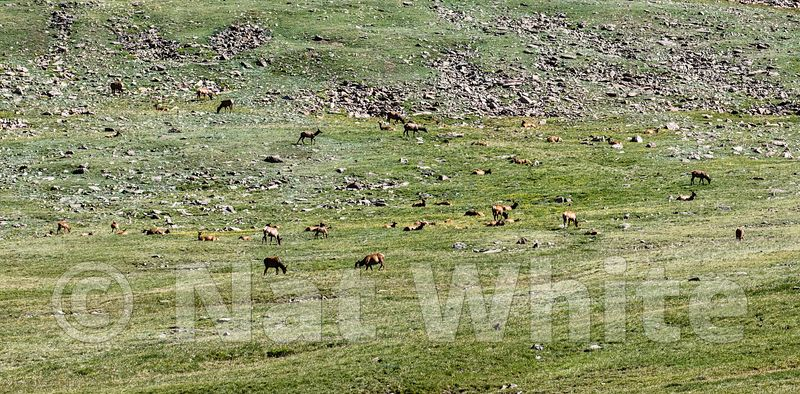 Elk_RMNP-Filename_number_suffix-_1July_24_2019_