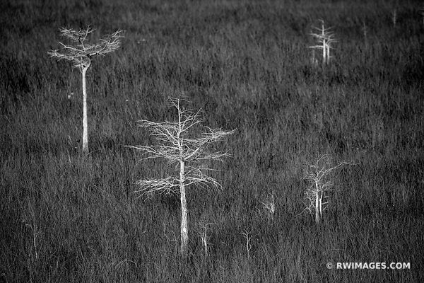 PA-HAY-OKEE PRAIRIE DWARF CYPRESS TREES EVERGLADES FLORIDAEVERGLADES FLORIDA BLACK AND WHITE LANDSCAPE