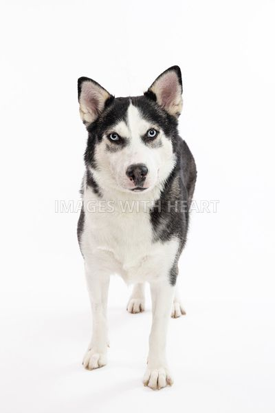 Black & White Husky with Blue Eyes